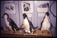 Bird taxidermy on display at museum on Orcadas scientific base