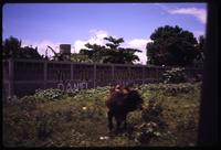 Bull roaming in field and Sandinista graffiti on fence in background