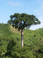 Sun shines on an endangered cuipo tree in El Plátano, Panama